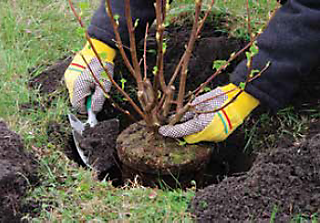 plant shrubs and evergreens early enough to establish roots before winter