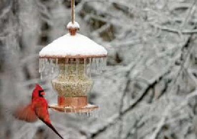 cardinal balancing on the edget of a snow-covered bird-feeder