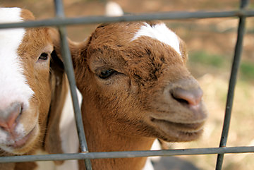 Two goats looking through a fence