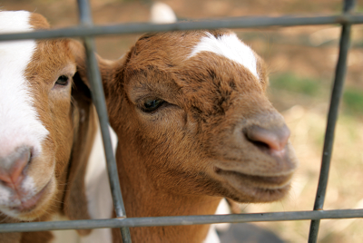 goats up against a fence