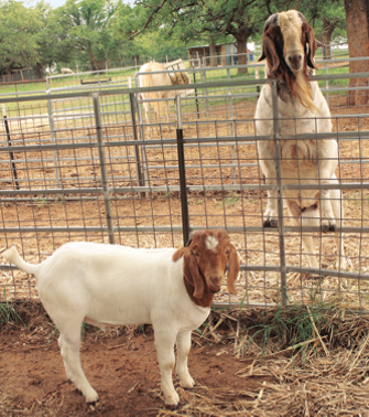 one goat in front of the fence, another with its hooves up on the fence from behind