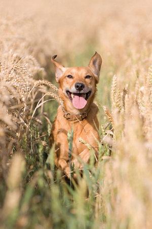 a dog running toward the camera in tall grass