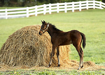 Foal eating hay in a field.