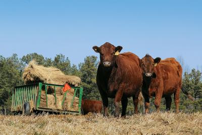 Teddy's grass-fed cows