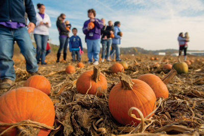 people picking pumpkins out of the field