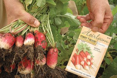 freshly harvested radishes next to a radish seed packet