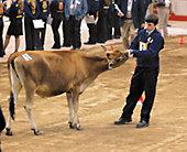 a judge examining a show calf