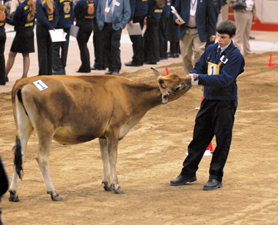 a judge checking out a show calf