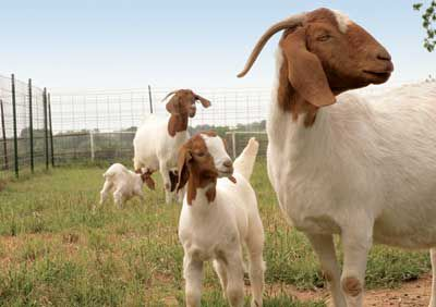 Goats in a fence.