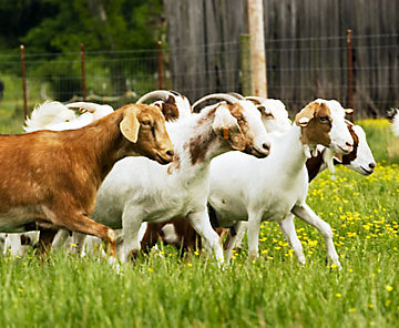 Herd of goats running through a pasture.