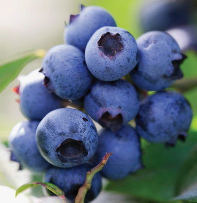 unpicked blueberries