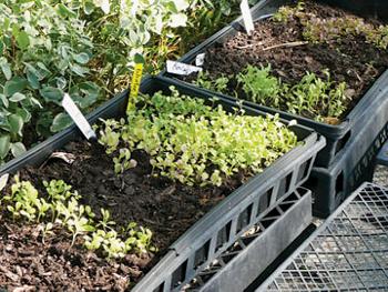 lettuce growing in planters