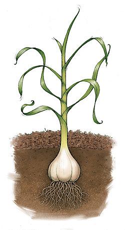 garlic growing in the soil