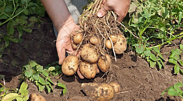 Man pulling potatoes from the garden.