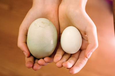 the giant egg compared to a regular chicken egg