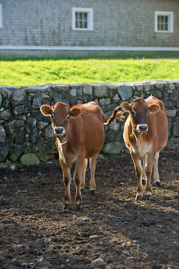 two cows standing in front of a low stone wall