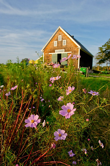 barn in the background with purple flowers in the foreground