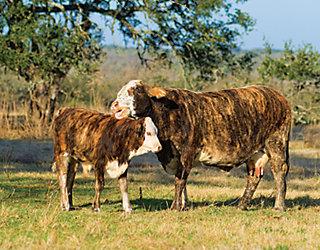 Tiger Stripe cattle