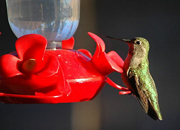 A Visit From A Hummingbird To Your Garden Is A Welcome Event. Fortunately,  There Are Easy Steps You Can Take To Attract Hummingbirds To Your Backyard.