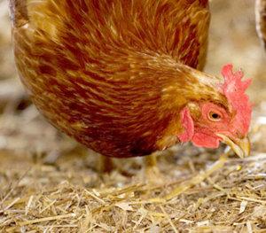 Raising Chickens In Winter Requires Proper Lighting ...