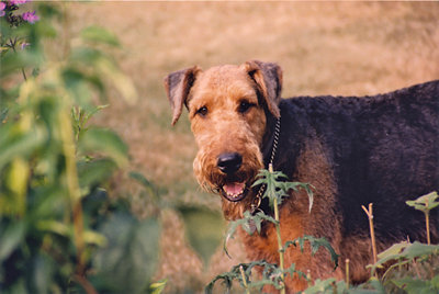 a picture of Blue, a large-breed Airedale