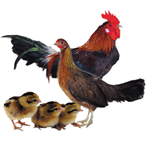 Indian Red Junglefowl - Tractor Supply Co.
