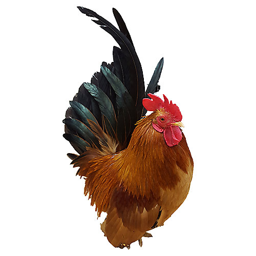 Chicken Breeds | Tractor Supply Co