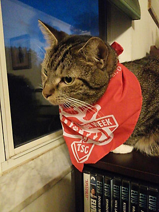 cat sitting on top a couch back wearing a TSC P.A.W. bandana