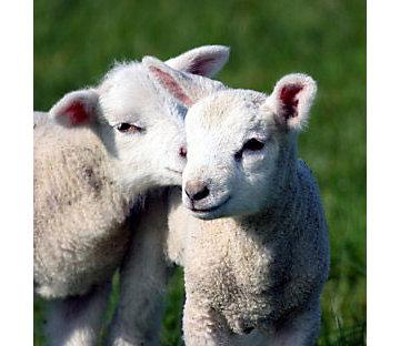 Baby lambs.
