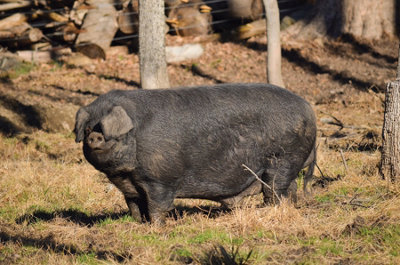 a Large Black Hog