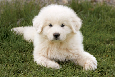 a Great Pyrenees puppy lying on the grassing