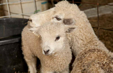 Leicester longwool sheep, rare sheep breeds kept by specialty sheep farmers