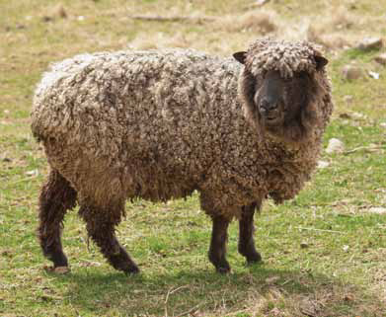 Leicester longwool adult sheep