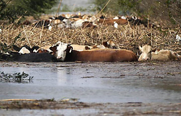cattle trapped in flooded water