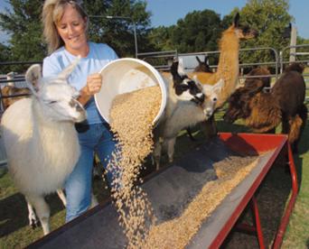 putting food into the feeding trough