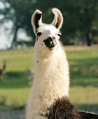 a llama looking at the camera