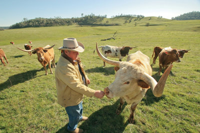 Jim Hix with his longhorn cattle