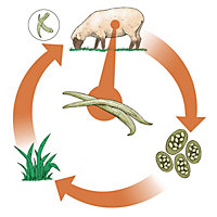 illustration of a sheep parasite lifecycle