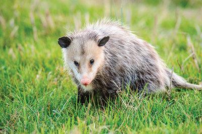a close view of a possum