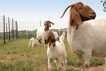 Goats on a farm.