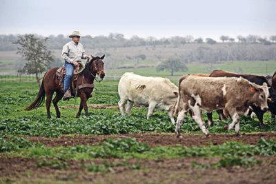 Nolan Ryan on horseback, herding cows