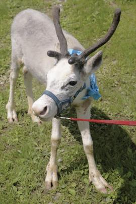 Rocky, an 11-week-old reindeer