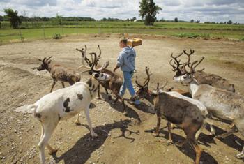 Dan Aldrich giving apples to the reindeer herd