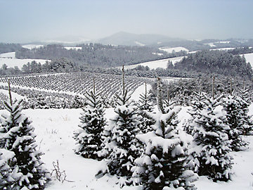 Fields full of Christmas trees growing on a Christmas tree farm.