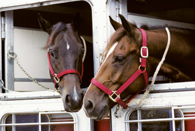 two horses looking out the end of a trailer