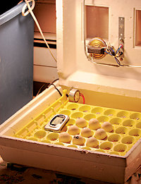 an incubator with eggs in it