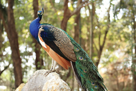 blue peacock with green feathers sitting on a perch
