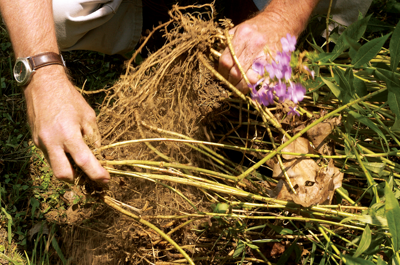 Splitting the roots of a perennial before replanting - Tractor Supply Co.