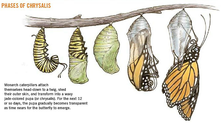phases of chrysalis