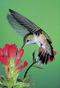 a hummingbird feeding on a flower